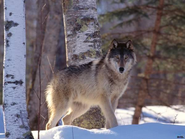 Волки обои красивые